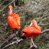 foto of scarlet ibis  - Details of a perched scarlet ibis in captivity - JPG