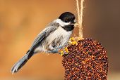 stock photo of chickadee  - While perched a chickadee pecks at the rope of an ornamental bell - JPG