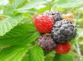 Постер, плакат: Черная малина Rubus Западная