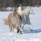 pic of 16 year old  - Welsh ponies 2 years old grey mare and 16 years old white mare - JPG