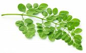 stock photo of oleifera  - Edible moringa leaves close up over white background