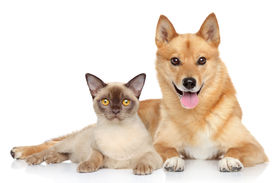foto of laika  - Happy dog and cat together on a white background - JPG