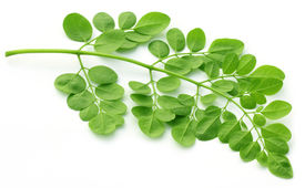 image of malunggay  - Edible moringa leaves close up over white background