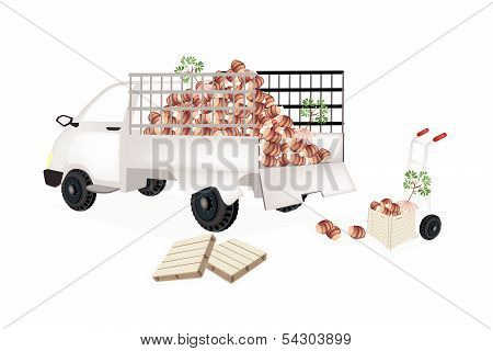 Hand Truck Loading Fresh Taro Into Pickup Truck