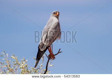 Pale Chanting Goshawk Sitting On A Branch In Sun