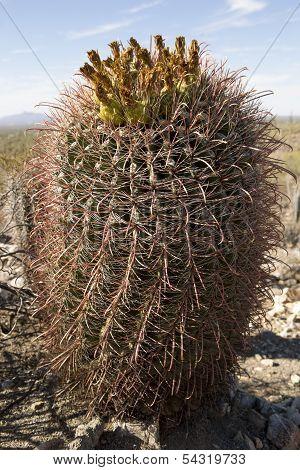 Small Saguaro Cactus