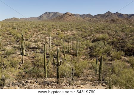 Desert With Saguaro Cactuses