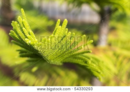 Pine casuarina leaves