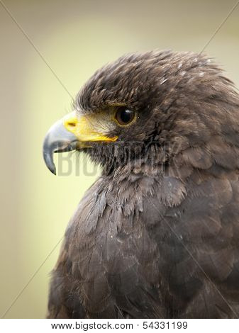 Portrait Of A Young Steppe Eagle (aquila Nipalensis)
