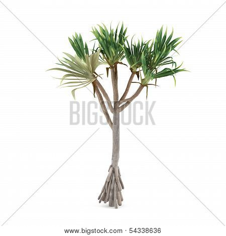 Palm plant tree isolated. Pandanus utilis
