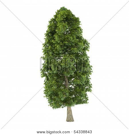 Tree isolated. Tilia platyphyllos