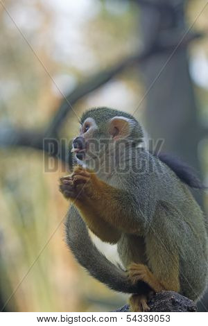 Common Squirrel Monkey.