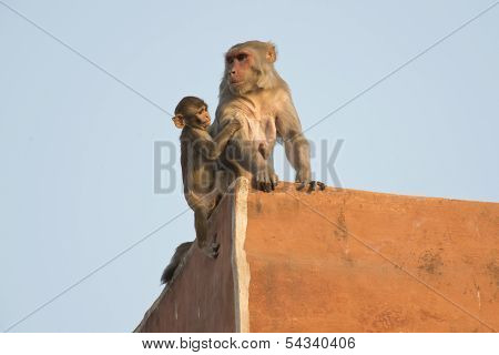 Rhesus Macaque And Its Cub