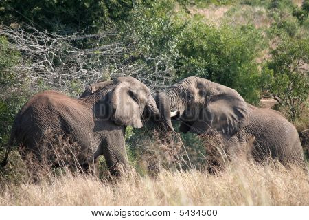 2 Young Elephants Tussling