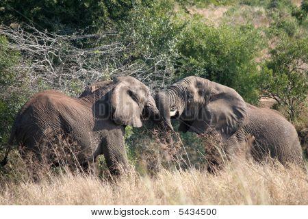 2 Young Elephants Tussling