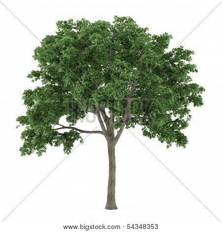 Tree  Ulmus