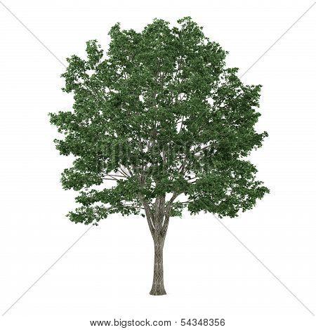 Tree Tilia