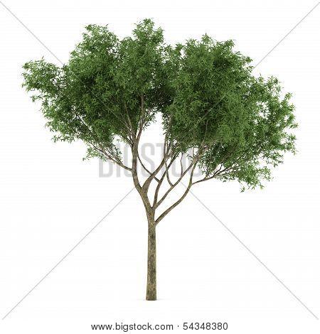 Tree Salix fragilis