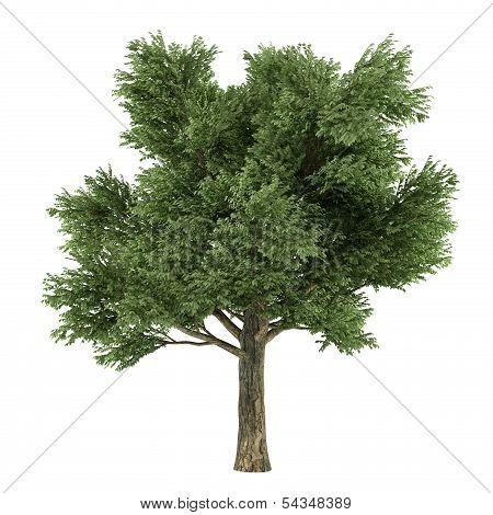Tree  Quercus
