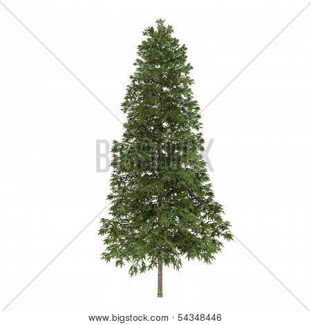 Tree isolated. Picea abies fir-tree