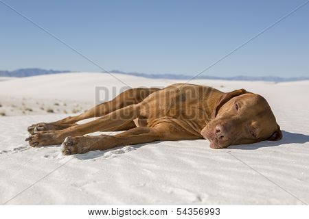 Dog Laying In Desert Sand