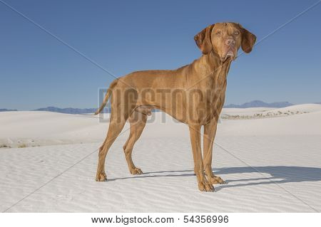 Dog Standing In White Sand Desert