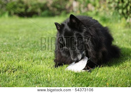 Black Hungry Dog Eating Fresh Fish Head
