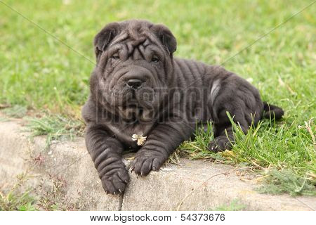 Adorable Sharpei Puppy Lying