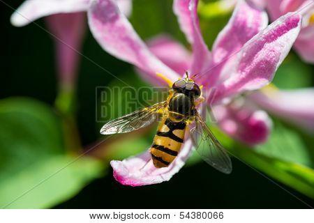 Cerca de una abeja en una flor rosa