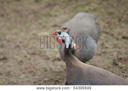 Helmeted Guineafowl - Numida Meleagris