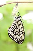 stock photo of cocoon  - amazing moment about butterfly change form chrysalis - JPG