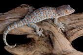 picture of tokay gecko  - A tokay gecko is crawling over a piece of driftwood - JPG