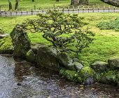 foto of bonsai  - Fragment of a Japanese garden with a bonsai tree growing on a bank of the stream.