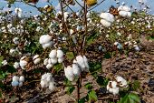 picture of boll  - Raw Cotton Growing in a Cotton Field - JPG