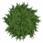 foto of pinus  - Tree isolated - JPG
