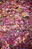 American Vine Leaves In Autumn