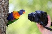 stock photo of lorikeets  - Details of a rainbow lorikeet in front of a camera - JPG