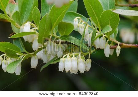 Wild  Flowers In Thailand Name Vaccinium Sprengelii (d.don) Sleum