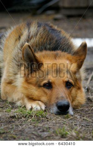 Large Dog Lies And Waits