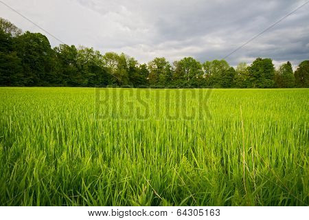 Wheat field in springtime