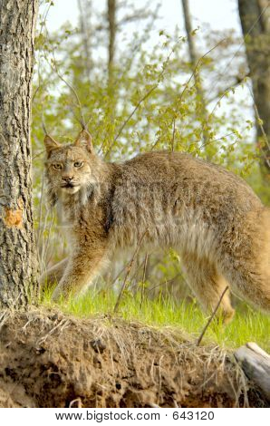 Lynx Canadensis Standing