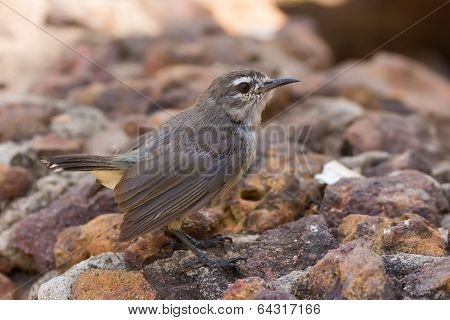 Mouse Brown Sunbird (anthreptes Gabonicus) Standing On Stones
