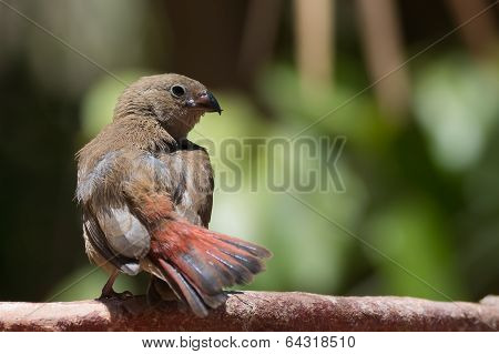 Young Red-billed Firefinch With Unusual Crossed Bill