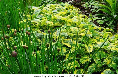 Garden Herbs.