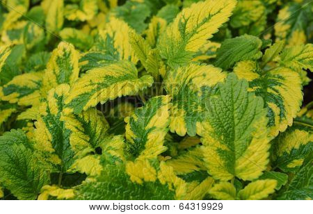 Variegated Lemon balm (Melissa officinalis).