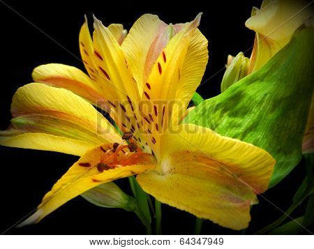 yellow inka's lily