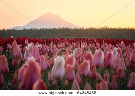 Mount Hood From The Tulip Far