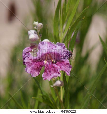 Chilopsis linearis blossom
