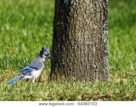 Blue Jay with Ruffled Crest