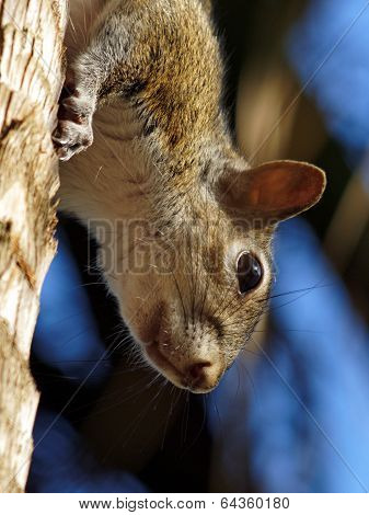 Extreme Closeup Squirrel